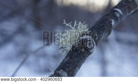 Alder Branch With Moss Against The Background Of The Evening Forest