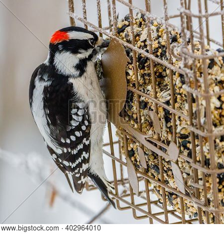 Downy Woodpecker (picoides Pubescens) Feeding On A Seed Cake Bird Feeder During Winter. Selective Fo