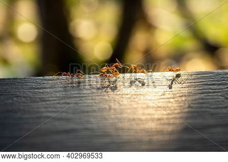 Red Imported Fire Ant, Behavior Of Ants.