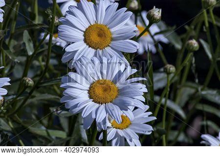 Bloom Of White Daisy Or Marguerite Flower In Public Garden, Sofia, Bulgaria, Europe