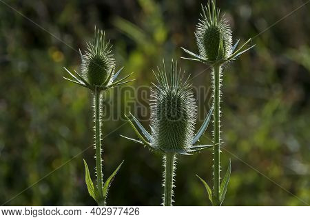 Wild Teasel, Wild Thistle Or Dipsacus Fullonum, A Species Of Flowering Plant From Eurasia, Sredna Go