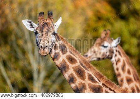 Two Rothschild giraffes, Giraffa camelopardalis rothschildi, against autumn foliage background. This subspecies of Northern giraffe is endangered in the wild.