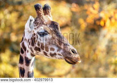 Rothschild giraffe, Giraffa camelopardalis rothschildi, against autumn foliage background. This subspecies of Northern giraffe is endangered in the wild.