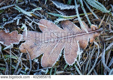 Frozen dry oak leaf on grass