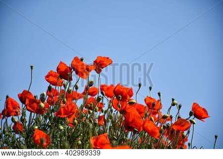 Beautiful Blossom Poppies By A Blue Sky