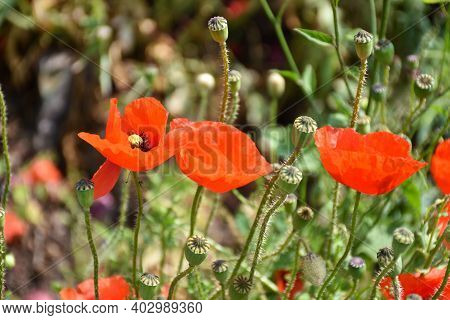 Sunlit Beautiful  Blossom Red Poppies Close Up