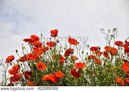 Lots Of Sunlit Poppies In A Group