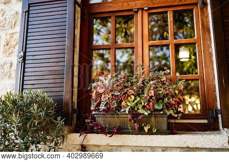 Motley Croton In A Flower Pot By A Wooden Window With Brown Shutters.