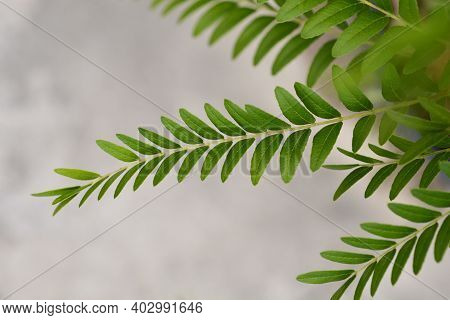 Honey Locust Sunburst Tree Branch - Latin Name - Gleditsia Triacanthos Sunburst