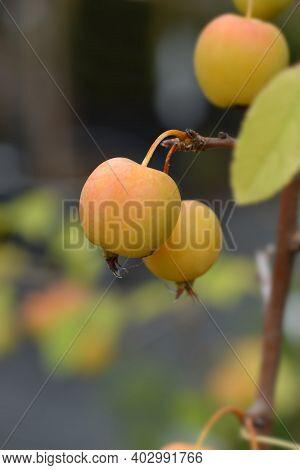 Crabapple Golden Hornet - Latin Name - Malus X Zumi Golden Hornet