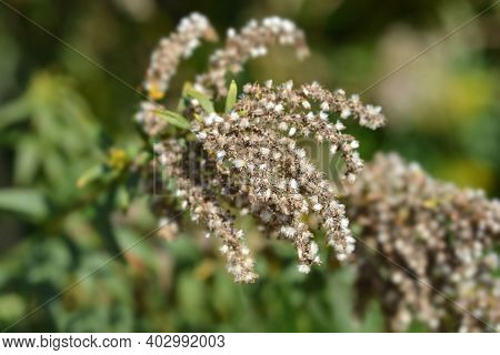 Tall Goldenrod Seeds - Latin Name - Solidago Altissima