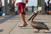 A brown Pelican bird standing very close to people passing by him on the public fishing pier in Clearwater Florida probably waiting for free food and handouts. poster