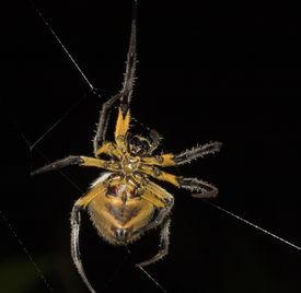 gelb Spinne