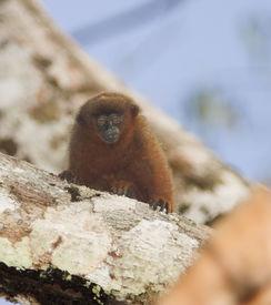 Titi Monkey sml
