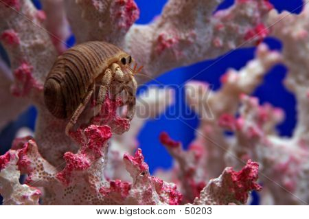 A Hermit Crab On Pink Coral...