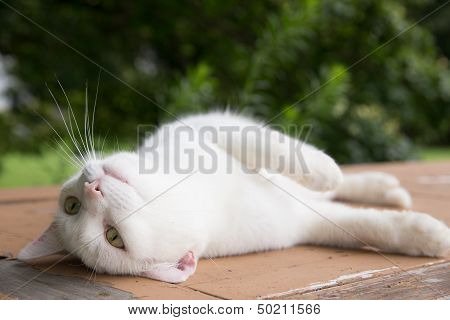 Close up of white kitten on a table being lazy poster