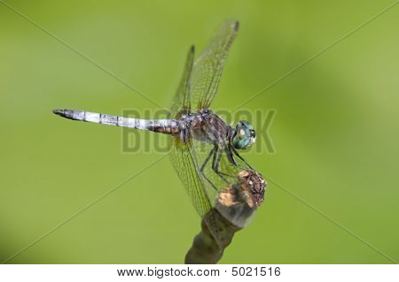 Blue Dasher Dragonfly On A Stick
