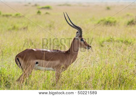 Impala In The Savannah