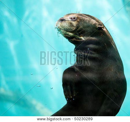 Beautiful sea lion in a water