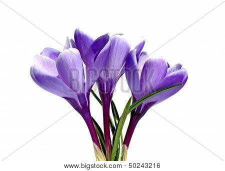 Three violet flowers of crocus isolated