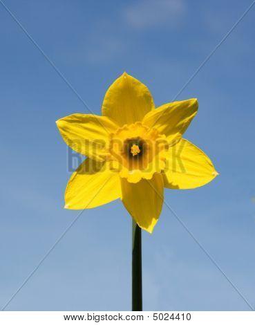 Yellow Daffodil.