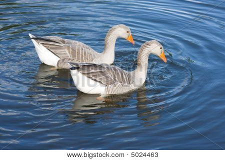 Two greylag geese (Anser Anser) swimming on lake poster