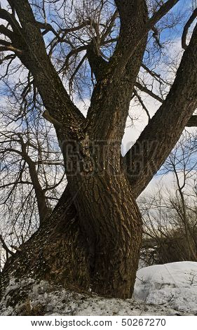 Big branchy willow in the winter
