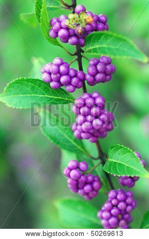 Purple Beautyberry Callicarpa Fruit