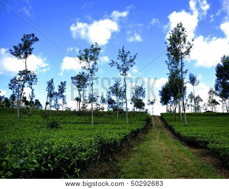 Tea Plantation in Java, Indonesia