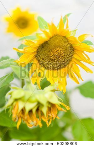 Sunflower And Green Stink Bug