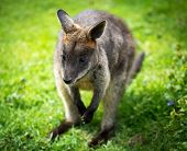 Beautiful agile wallaby  poster