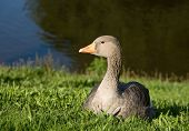 Greylag Goose (Anser Anser) resting on green grass. poster