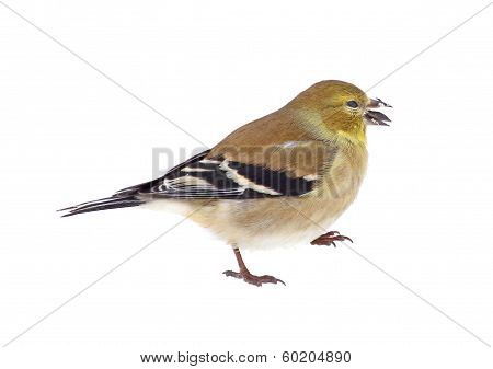 American Goldfinch Isolated