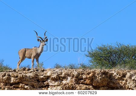Lone male kudu bull gorgeous horns standing in dry desert with blue sky background poster