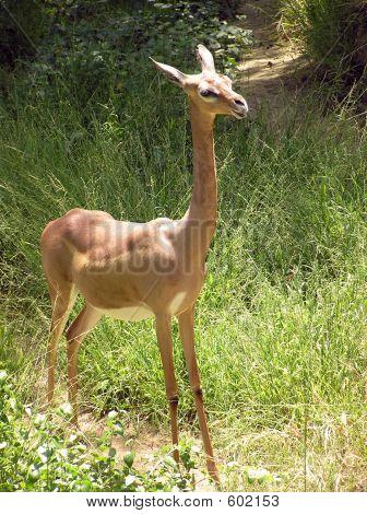 Gerenuk Standing-Alt