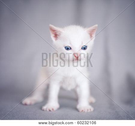 adorable white kitten over gray background