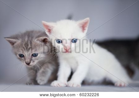 White and gray adorable kittens