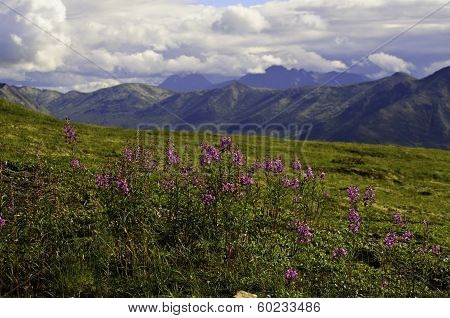 Wild Fireweed flowers