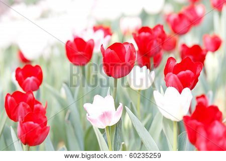 Close Up Beautiful Red Tulip Field