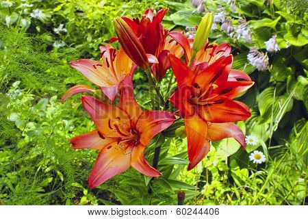 Many flowers and buds of red and orange lilies in the garden poster