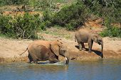 Elephants drinking at the river poster