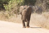 Young elephant charge aggressive along a road to chase danger away poster