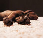 a cute chocolate lab puppy sleeping in a house with shallow dept poster