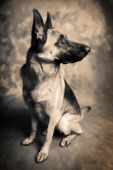Dog portrait of german shepherd or guard dog poster
