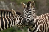 Pair of Burchell's or plains zebras greeting each other poster