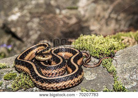 Eastern Garter Snake (Thamnophis sauritus)