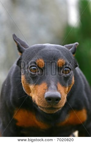 Dog with protruding eyes and an artful muzzle poster