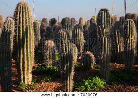 Majestic desert cactii.