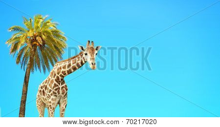Coconut palm and giraffe on blue sky poster