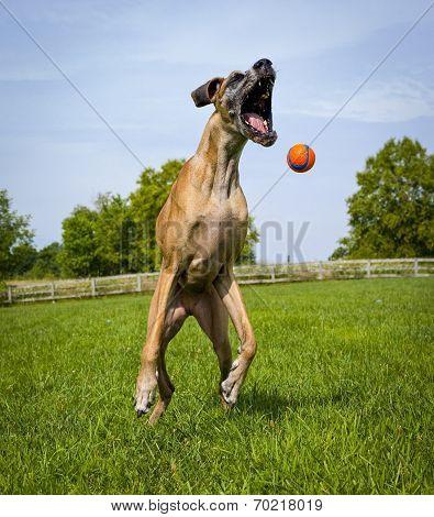 Great Dane missing orange ball